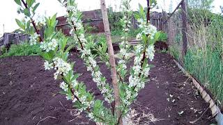 Сорт вишни «кармин джуэл» — основные особенности выращивания