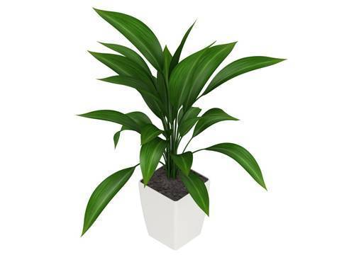 Аспидистра — растение с изумрудной листвой и чугунным характером