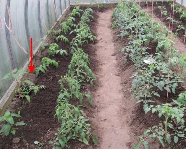 Можно ли сажать помидоры и перец в одной теплице