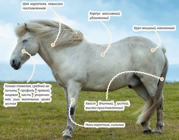 Голландская порода лошадей: история, скрещивание, разведение