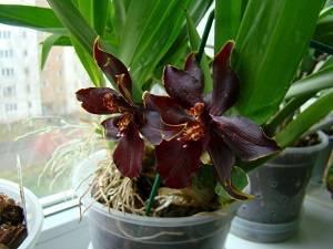 Орхидея камбрия: выращивание в домашних условиях, посадка и уход, пересадка и размножение