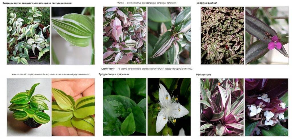 Традесканция: приметы и суеверия, можно ли держать цветок (фиолетовый) дома по фэншуй