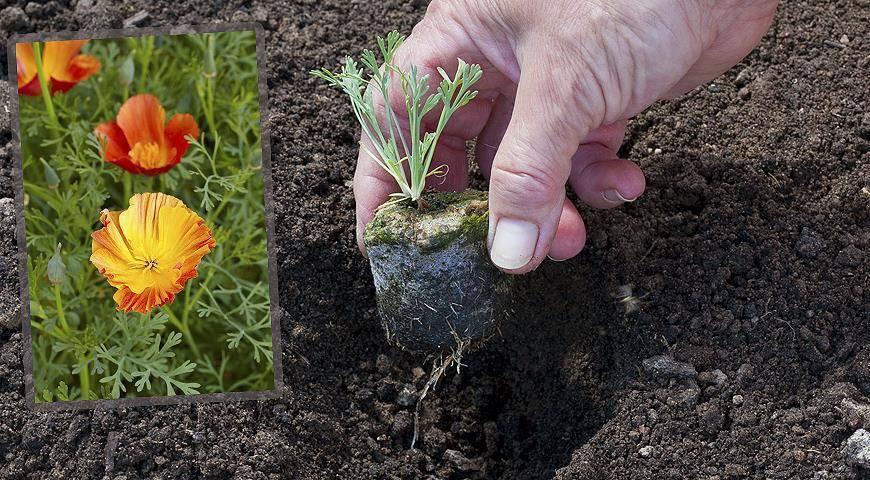 Выращивание эшшольции из семян - когда сажать и как получить крепкую рассаду