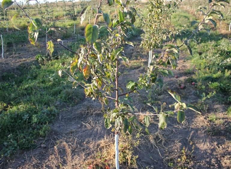 Причины и лечение белого налета на листьях яблони - мыдачники
