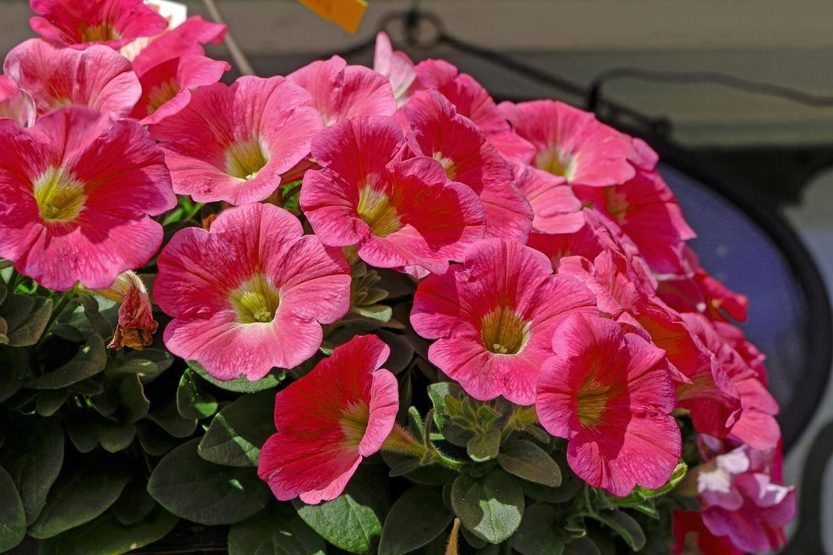 Чем подкормить петунию для обильного цветения летом и осенью подкормки удобрениями и народными средствами