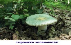 Гриб сыроежка зеленая: его ядовитый двойник, описание, фото — selok.info