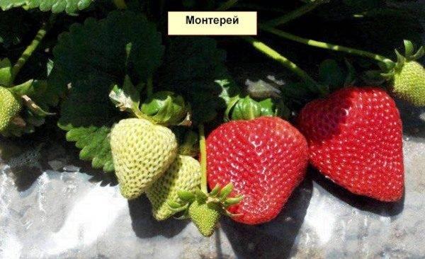"""Клубника """"монтерей"""": описание сорта, фото, отзывы"""