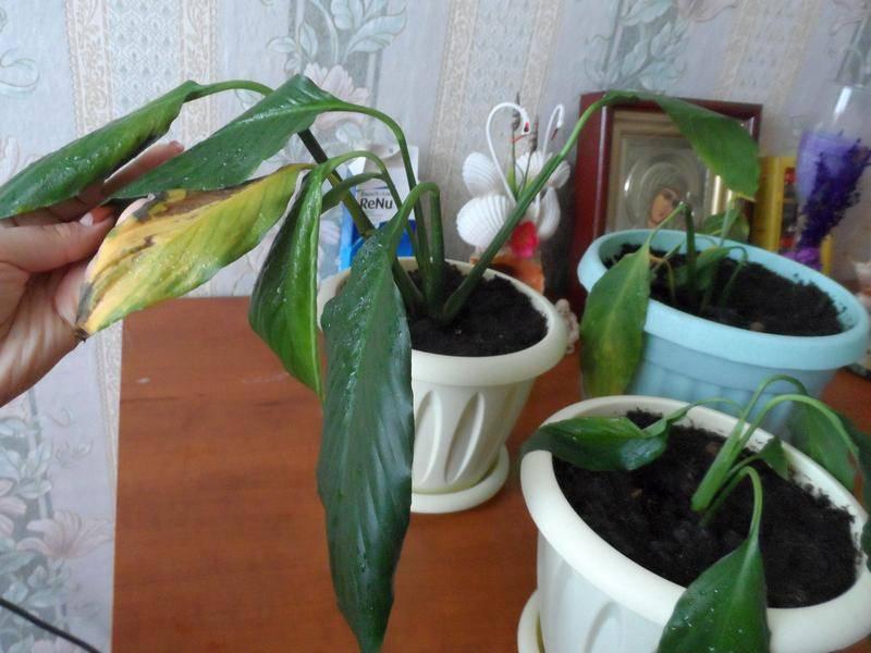 Почему желтеют листья у комнатных растений: причины