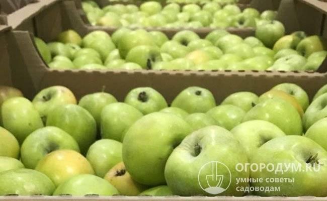 Яблоки семеренко фото и характеристика сорта, полезные свойства