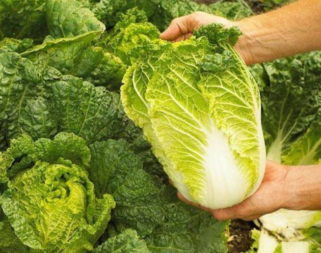 Особенности выращивания пекинской капусты в теплице и открытом грунте в сибири. какой уход нужен овощу?