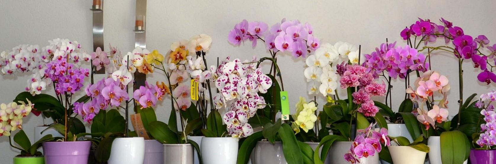 Мини-орхидеи: карликовые фаленопсисы и другие марки, фото видов и сортов, ответы на вопросы, как пересадить цветок и вырастает он или остается всегда маленьким selo.guru — интернет портал о сельском хозяйстве