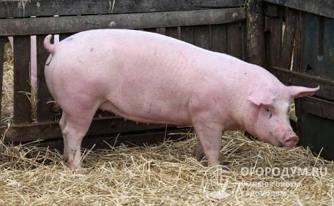 Термины свиноводства — свиноводство