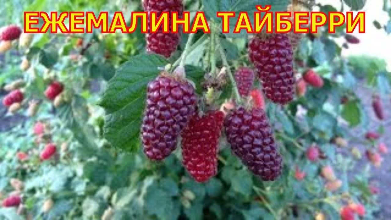 Ежемалина (фото) или логанберри - посадка и уход | сайт о саде, даче и комнатных растениях.