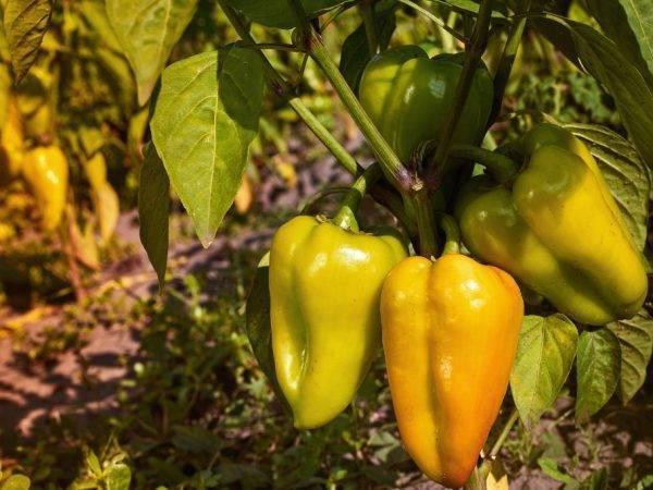 ✅ перец айвенго: характеристика и описание сорта, фото, урожайность, выращивание и уход - tehnoyug.com