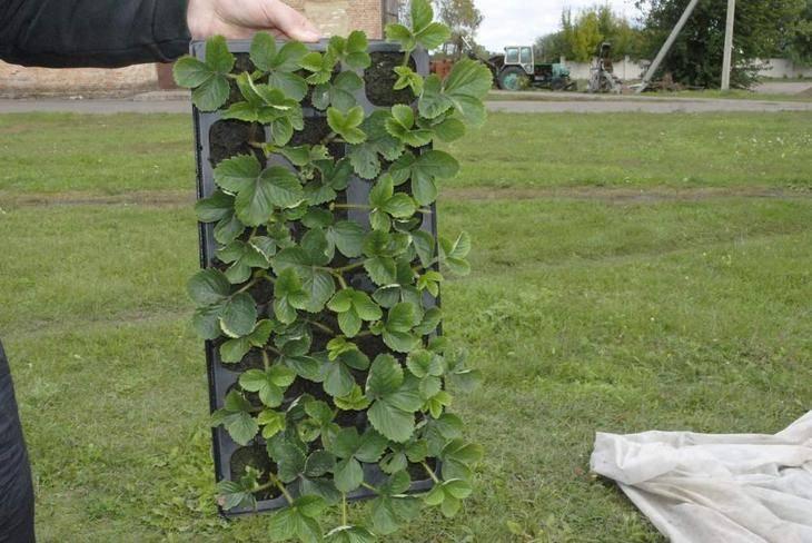 Как вырастить землянику из семян в домашних условиях на рассаду: фото и видео по шагово