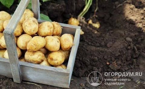 Картофель «любава»: описание сорта и его характеристика