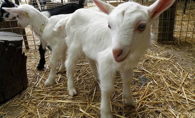 Зааненские козы — самая продуктивная порода молочной направленности