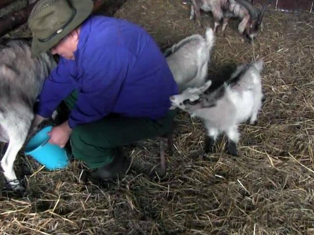 Как правильно раздоить молодую козу?
