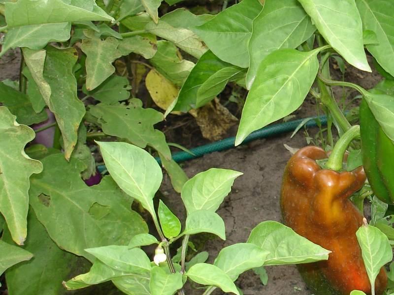 Кучерявых нам не надо! почему у рассады перца скручиваются листья