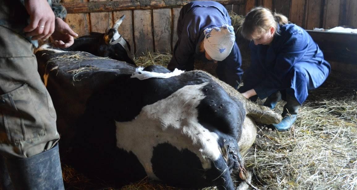 Почему корова после отела не встает на ноги и что делать