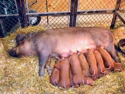 Супоросность свиньи: фото, видео, методы определения супоросности свиньи