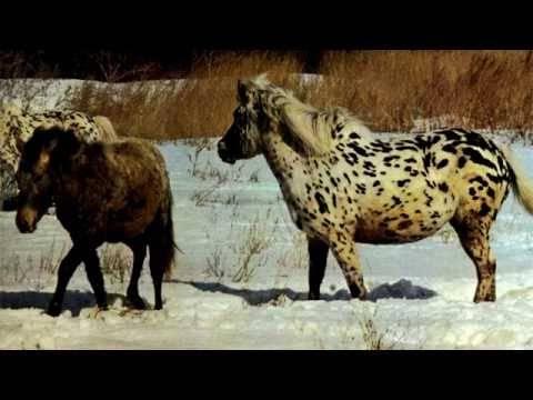 Монгольская лошадь: описание породы, содержание и уход