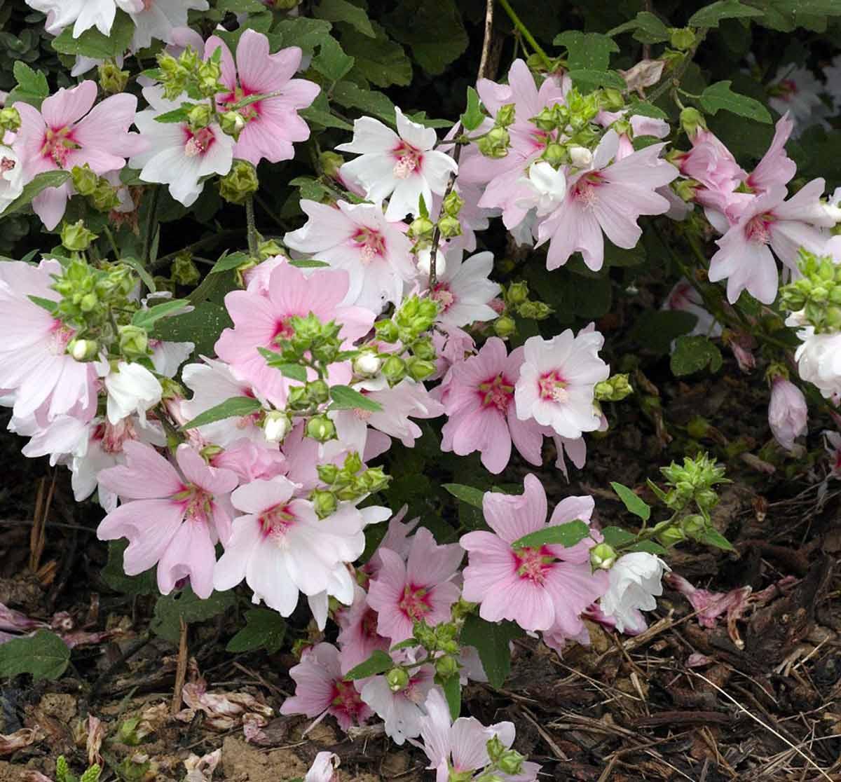 Цветок лаватера - как садить и выращивать на дачном участке
