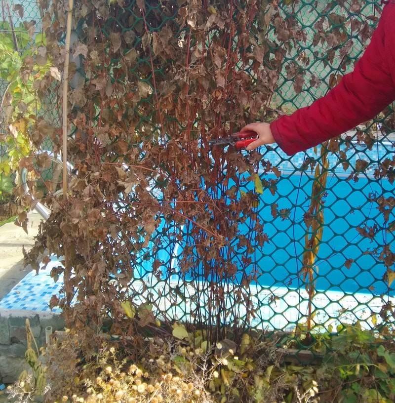 Укрытие клематисов на зиму: когда и как правильно утеплять цветущие лианы