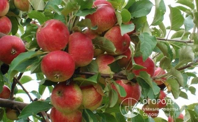 Сорт яблони слава победителям, описание, характеристика и отзывы, а также особенности выращивания данного сорта