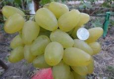 Неприхотливый сорт винограда «шахтер»
