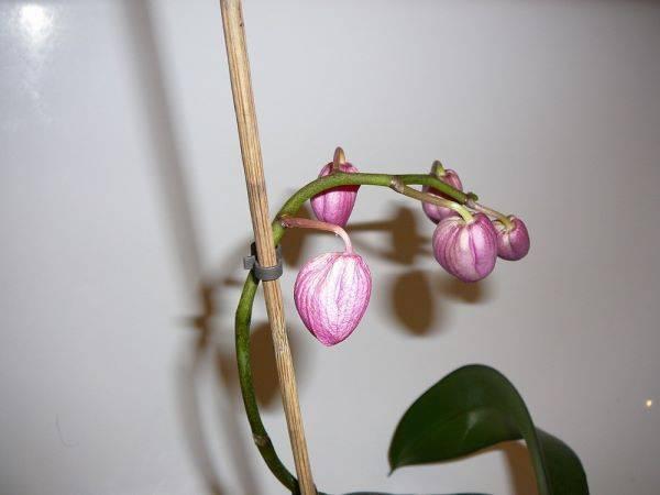 Что делать, если у орхидеи опали цветы или когда она сбросила все бутоны, нужно ли бороться дальше за её цветение?