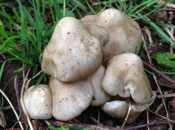 Отравление грибами — википедия