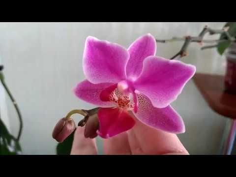 Редкая орхидея фаленопсис дикий кот (wild cat)