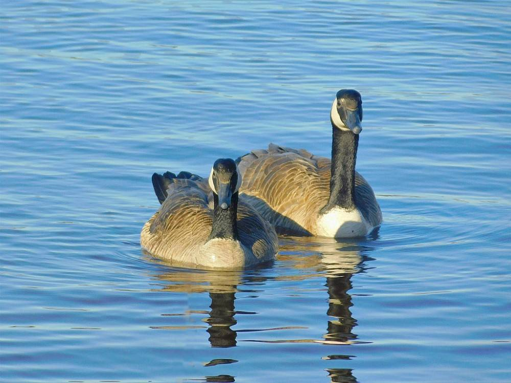Казарка птица. образ жизни и среда обитания птицы казарки