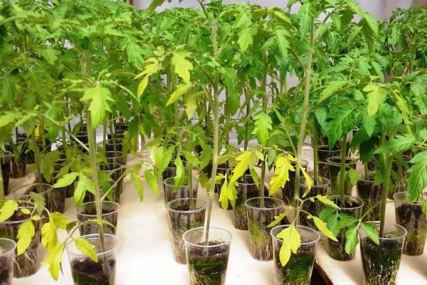 Рассада томатов тянется и бледная, что делать?