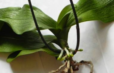 Рассказываем, как правильно поливать орхидею в домашних условиях
