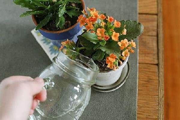 Когда цветет каланхоэ — как часто в домашних условиях