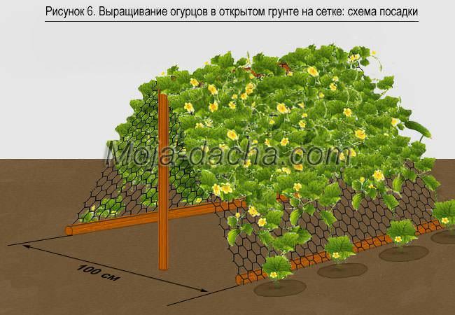 Правила посадки огурцов в открытом грунте и уход за ними