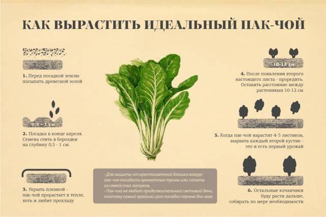 Пак-чой - полезные и опасные свойства капусты пак-чой