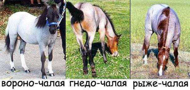 Игреневая масть лошади — описание и фото масти