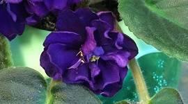 Фиалка «черная жемчужина»: описание сорта, особенности посадки и ухода