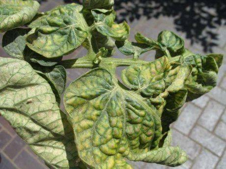 Почему у помидор сворачиваются листья в теплице? - огород, сад, балкон - медиаплатформа миртесен