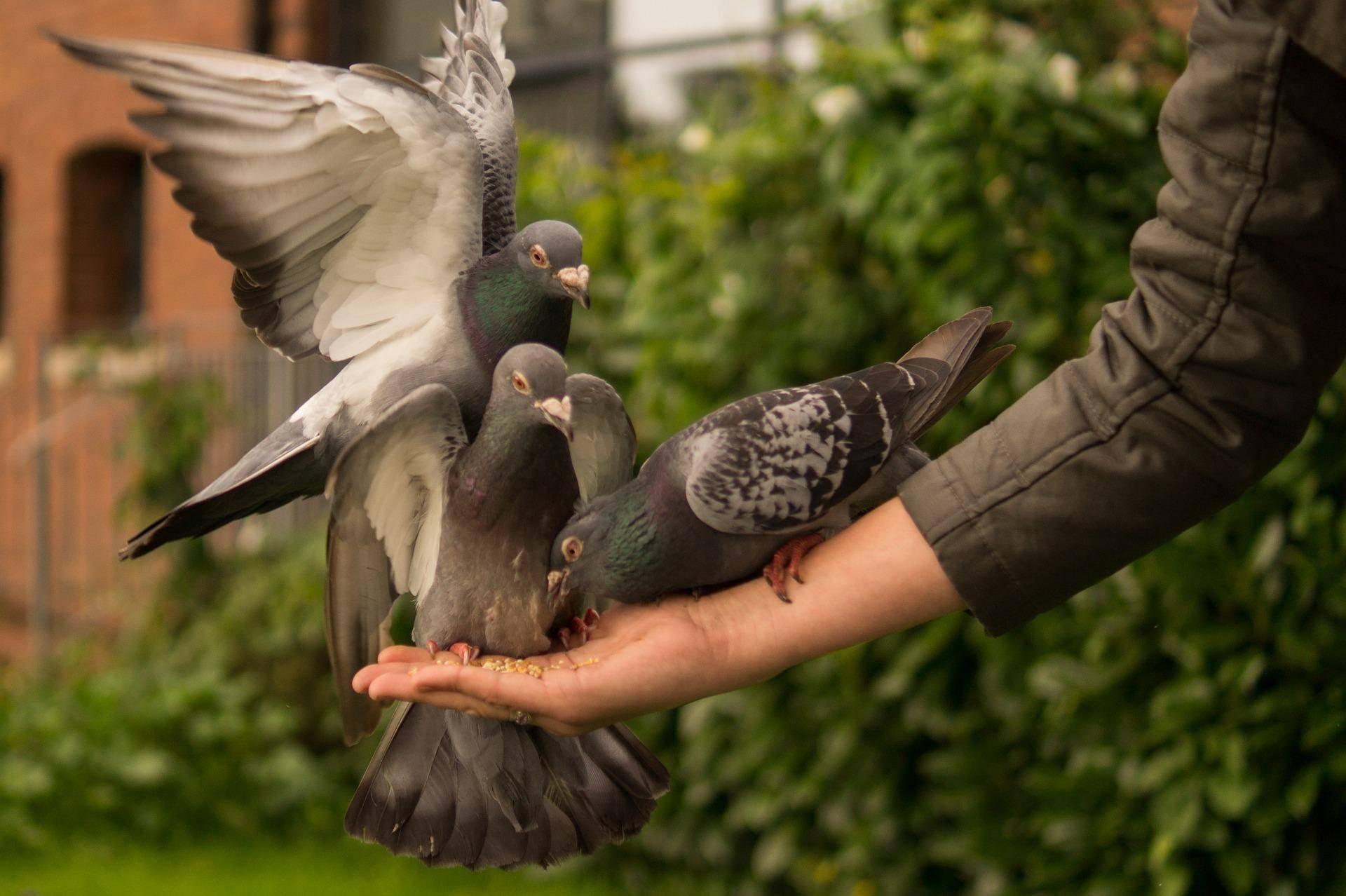 Что едят голуби, чем кормить в домашних условиях или на улице