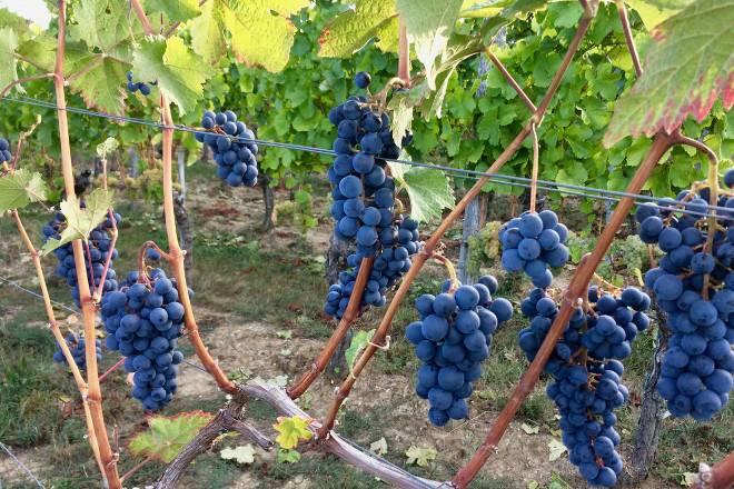 Правильная обрезка винограда весной для начинающих