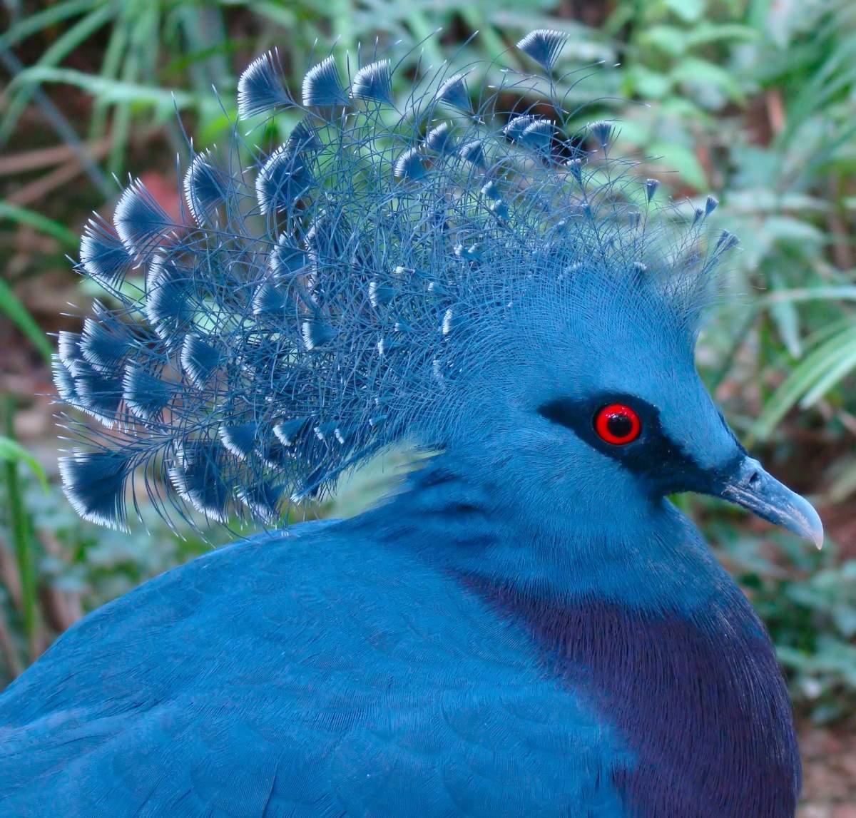 Венценосный голубь — птица неземной красоты, которая может вырасти размером с индейку