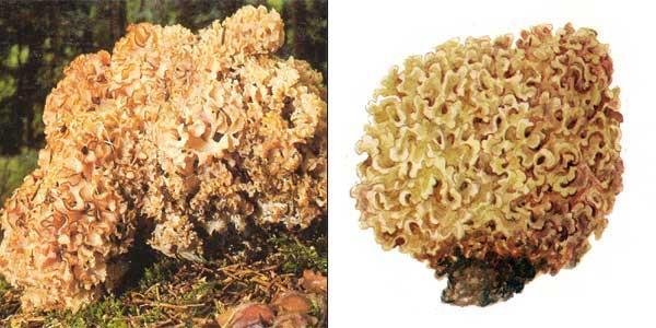 Характеристика гриба спарассис курчавый