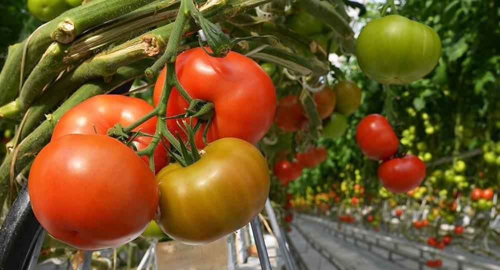 Калорийность помидора: в свежем, соленом, тушеном, маринованном виде