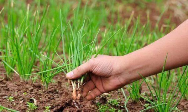 Когда высаживать рассаду лука чернушки