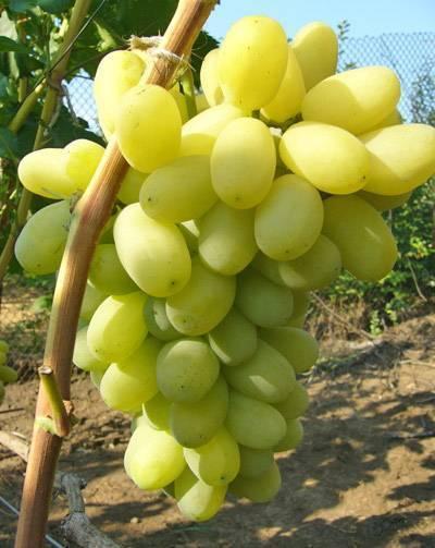 Описание сорта винограда лора (флора): фото, видео и отзывы | vinograd-loza