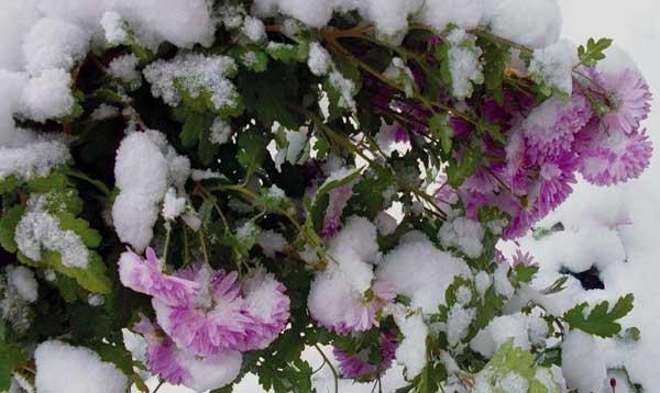 Хризантема мультифлора: зимнее хранение, как хранить, укрыть